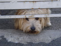 Cute little dog looking from underneath yard gate Stock Photography
