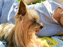 Cute little dog lying outdoors with its owner Stock Image