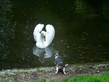 Cute little dog meets wild white swan in local park. The Cute little dog meets wild white swan in local park Royalty Free Stock Photo