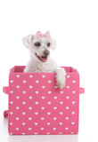 Cute little dog in a pink and white love heart box Royalty Free Stock Image