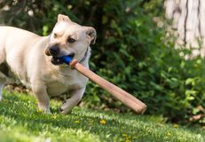 Little dog playing in the backyard with a baseball bat Stock Photos