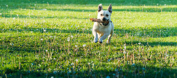 Cute little dog playing in the backyard Royalty Free Stock Photos