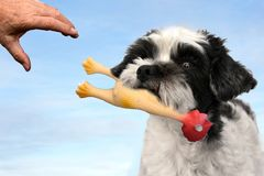 Cute little dog playing with a plastic toy. Mixed-breed dog between shih tzu and maltese dog plays with his owner with a plastic chicken Stock Images