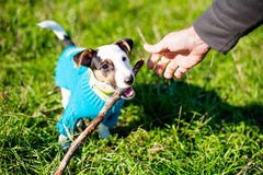 Cute little dog with pleasure gnawing wooden stick in grass Stock Images