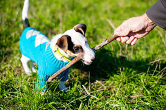 Cute little dog with pleasure gnawing wooden stick in grass Royalty Free Stock Image
