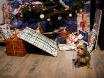 Cute little dog with a presents and Christmas tree royalty free stock photography