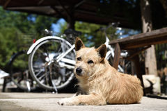 Cute little dog Royalty Free Stock Image