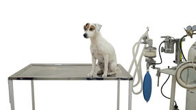 It is a cute little dog Royalty Free Stock Photos