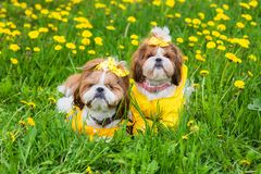 Cute little dog sitting among yellow flowers in yellow overalls with bows in green grass in the park. Outdoors Stock Photos