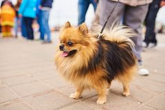Cute little dog, Spitz on a leash royalty free stock image