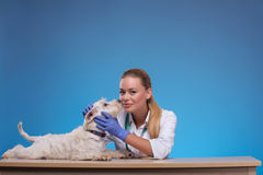 Cute little dog visits vet Royalty Free Stock Images