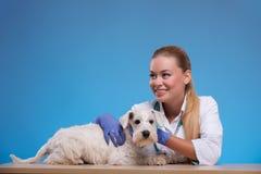 Cute little dog visits vet Stock Photo