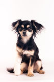 Cute little dog on white background at studio Royalty Free Stock Photography