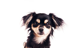 Cute little dog on white background at studio Stock Image