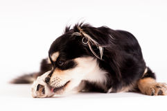 Cute little dog on white background at studio Royalty Free Stock Images