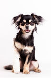 Cute little dog on white background at studio stock photography