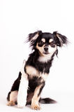 Cute little dog on white background at studio. Cute little six month mixed breed dog on white background at studio Royalty Free Stock Images