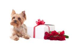 Cute little dog yorkshire terrier lying Stock Image