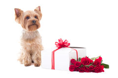 Cute little dog yorkshire terrier sitting with gift box and flow Stock Image