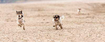 Cute little dogs are running over sandy ground and have fun. Two Jack Russell Terriers. Cute small dogs are running over sandy ground and have fun. Two Jack stock photo