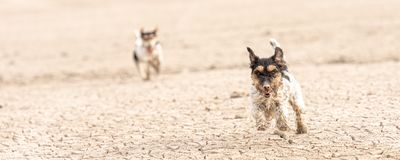 Cute little dogs are running over sandy ground and have fun. Two Jack Russell Terriers. Cute small dogs are running over sandy ground and have fun. Two Jack stock image