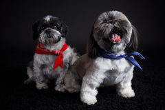 Cute little dogs Stock Images