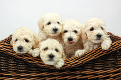 Cute little dogs in a wooden basket Royalty Free Stock Image
