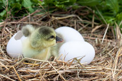 Cute little domestic gosling with broken eggshell and eggs in straw nest.  Royalty Free Stock Images