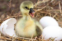 Cute little domestic gosling with broken eggshell and eggs in straw nest.  Royalty Free Stock Image