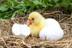 Cute little domestic gosling with broken eggshell and eggs in straw nest.  Royalty Free Stock Photos