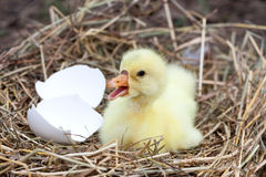 Cute little domestic gosling with broken eggshell in straw nest.  Royalty Free Stock Photos