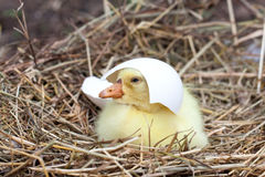 Cute little domestic gosling with broken eggshell in straw nest.  Stock Photo