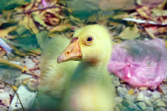 Cute little domestic gosling Stock Images