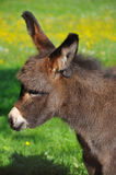 Cute little donkey. A very cute little brown fured donkey Stock Photos