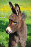 Cute little donkey. A very cute little brown fured donkey Royalty Free Stock Images