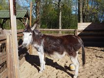 A cute little donkey is standing in the sun in the park zoo stock images