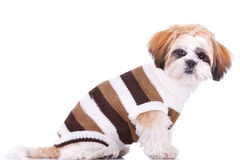 Cute little dressed shih tzu puppy Royalty Free Stock Images
