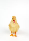 Cute little duck. On white  background Royalty Free Stock Photo