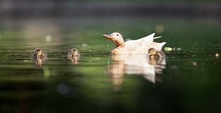 Cute little duck family Stock Photos