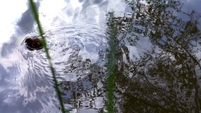 Cute little duck swimming near shore. stock video