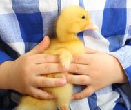 Cute little duckling Stock Photos