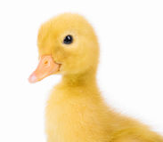 Cute little duckling Royalty Free Stock Photography