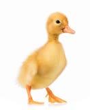Cute little duckling Stock Photo