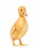 Cute little duckling Royalty Free Stock Images
