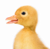Cute little duckling Royalty Free Stock Image