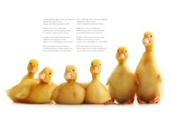Cute little duckling isolated Stock Images