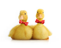Cute little duckling isolated Stock Photo