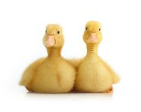 Cute little duckling isolated Stock Photography