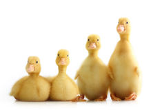 Cute little duckling isolated Royalty Free Stock Images
