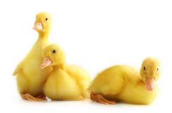 Cute little duckling isolated Royalty Free Stock Photography